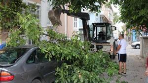 Ceviz ağacı, otomobilin üzerine devrildi