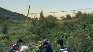 Zonguldak'ta 700 kök hint keneviri ele geçirildi