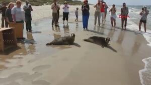 Kurtarılan fok balıkları, denize böyle salındı