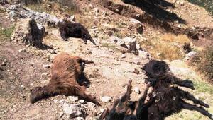 Kurtların saldırdığı sürüdeki 8 keçi telef oldu