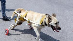 Vurulduktan sonra yürüteç yapılan köpek, hayata tutunamadı