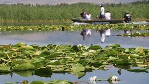Nilüfer çiçekleriyle ünlü Işıklı Gölünü görenler hayran kalıyor