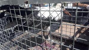 Yuvadan düşüp yaralanan yavru leylek, tedaviye alındı