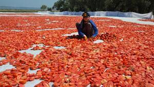Manisada kurutmalık domatesler tarlalara serildi