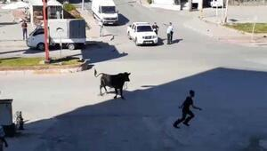 Zonguldakta kaçan boğa ortalığı birbirine kattı