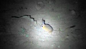 Sivasta, Arap tavşanı görüntülendi
