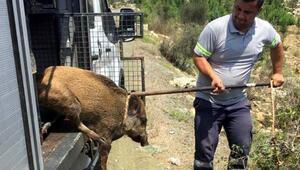Yaralı domuz yaşam alanına bırakıldı