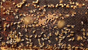 Brezilyada son 3 ayda 500 milyondan fazla arı öldü