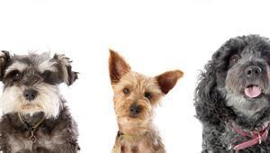 Köpekler yarışmada mücadele edecek