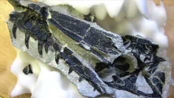 İsviçre'de yeni bir dinozor türü keşfedildi