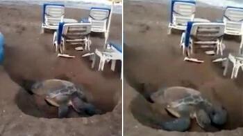 Antalya'da tepki çeken görüntü! Şezlonglar arasındaki kaplumbağa...