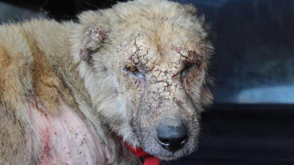 Hasta köpek, tedavi için İstanbula götürüldü