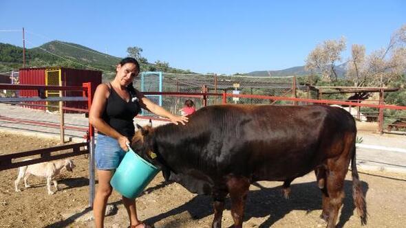 Kaçak boğa Ferdinand, bu bayram çiftlikte