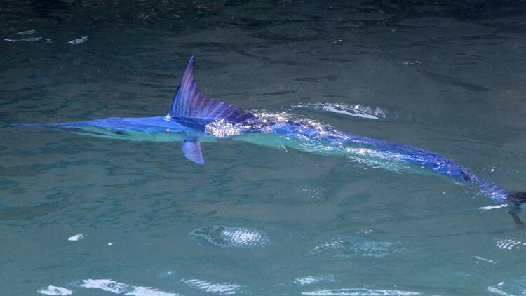 Mavi yelkənli balıq Antaliyada görünüb