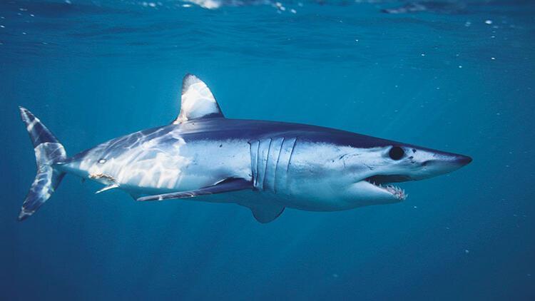 Gökova Körfezi'nde görülen  köpekbalığını uzmanlar yorumladı: Balık çiftliğine geliyorlar