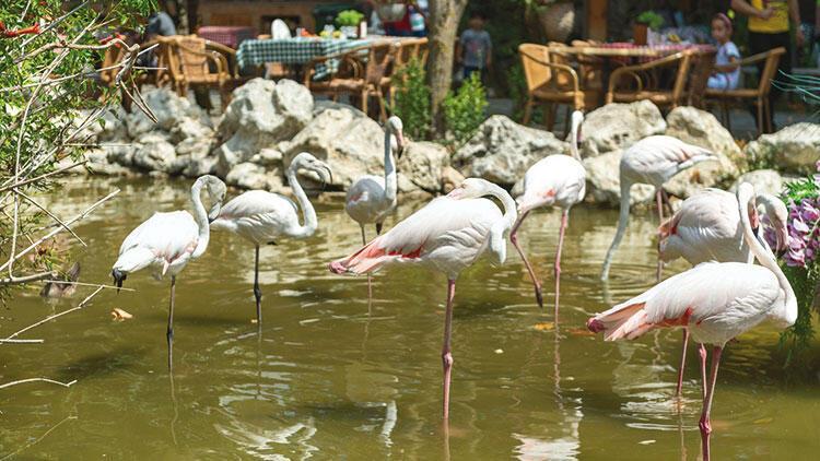 Tüyleri kesilmese uçarlardı... Restoranın süs havuzunda flamingoların ne işi var!
