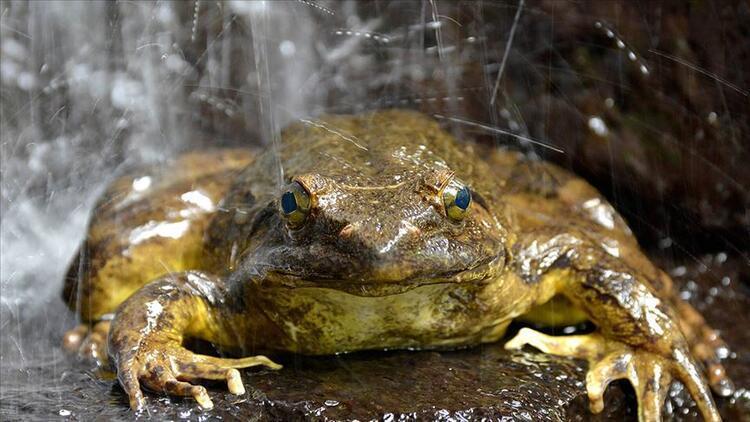 Dünyanın en büyük kurbağası, yavruları için gölet inşa ediyor