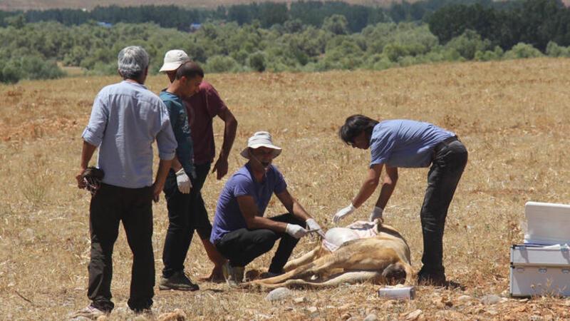 Tunceli'de ekipler zehirlenen inekler için seferber oldu