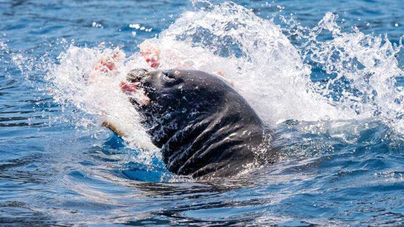 Akdeniz foku, vatoz balığını yerken görüntülendi