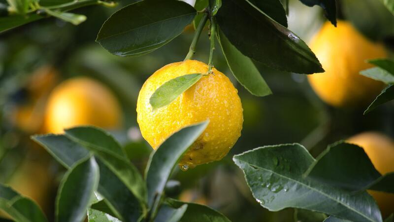 Limon çekirdeği filizlendirme