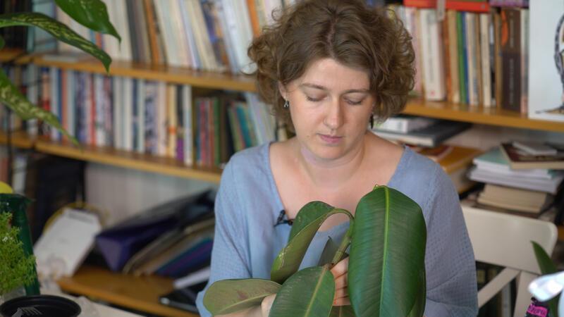 Ficus elastica nasıl çoğaltılır?
