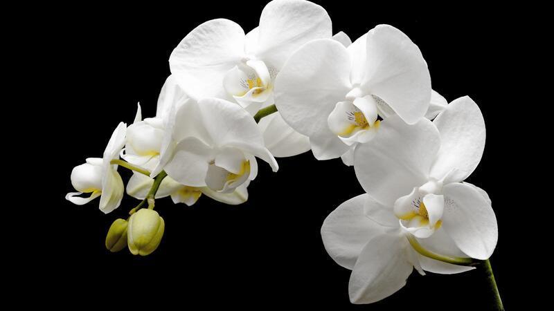 Orkide nasıl sulanır?