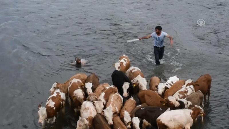 Sıcaktan etkilenen hayvanları akarsuda serinletiyorlar